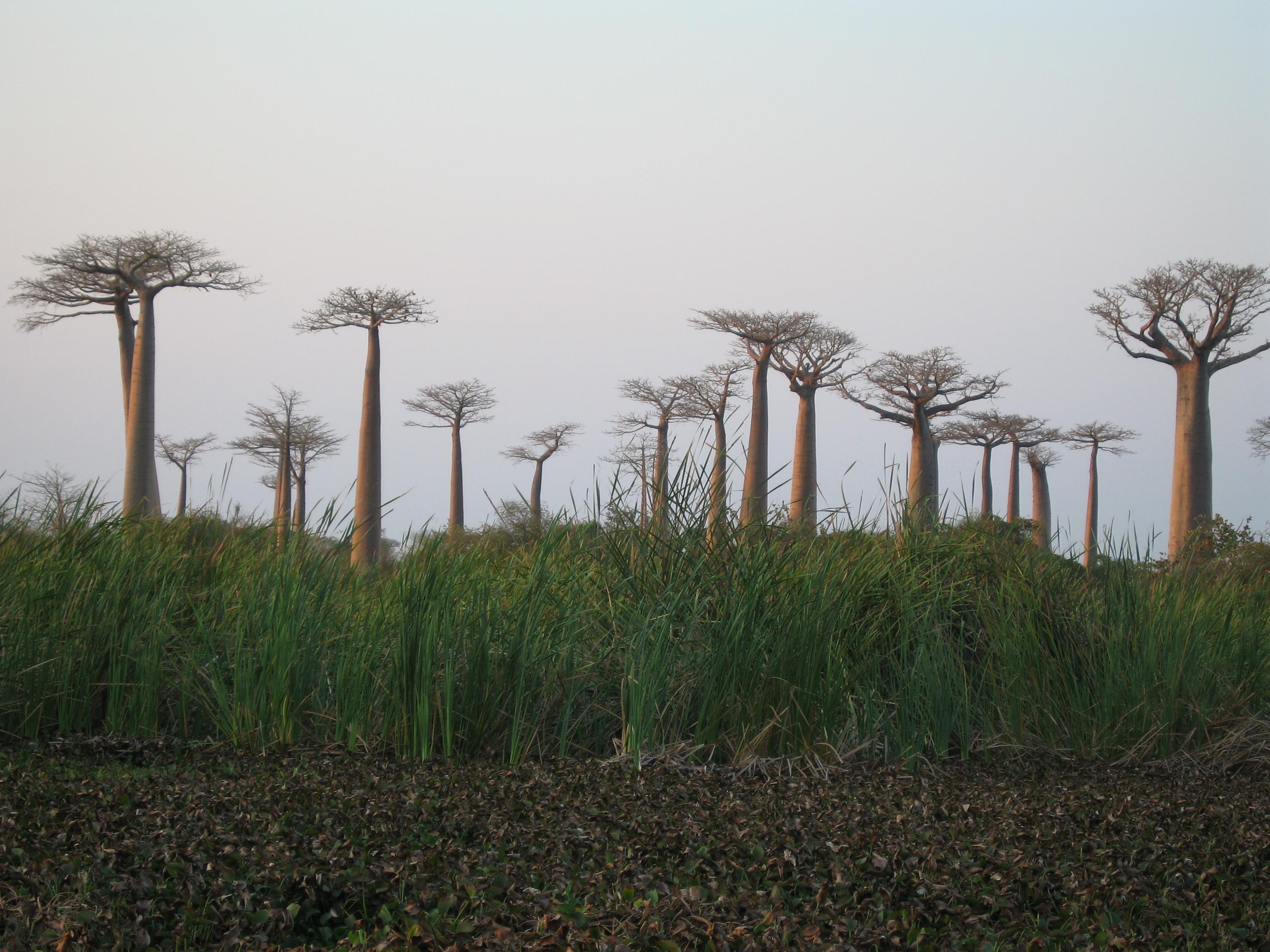 baobab misty
