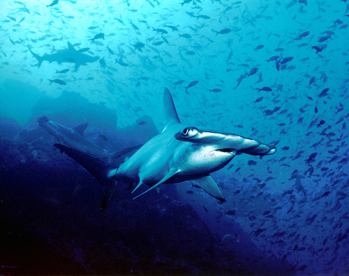 Hammerhead Photo by petersbar