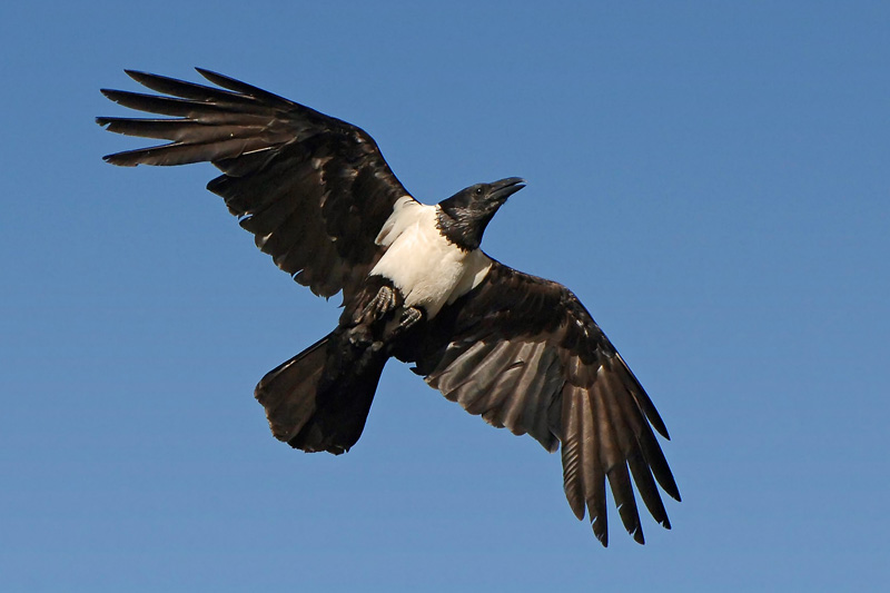 Pied_crow Myburgh