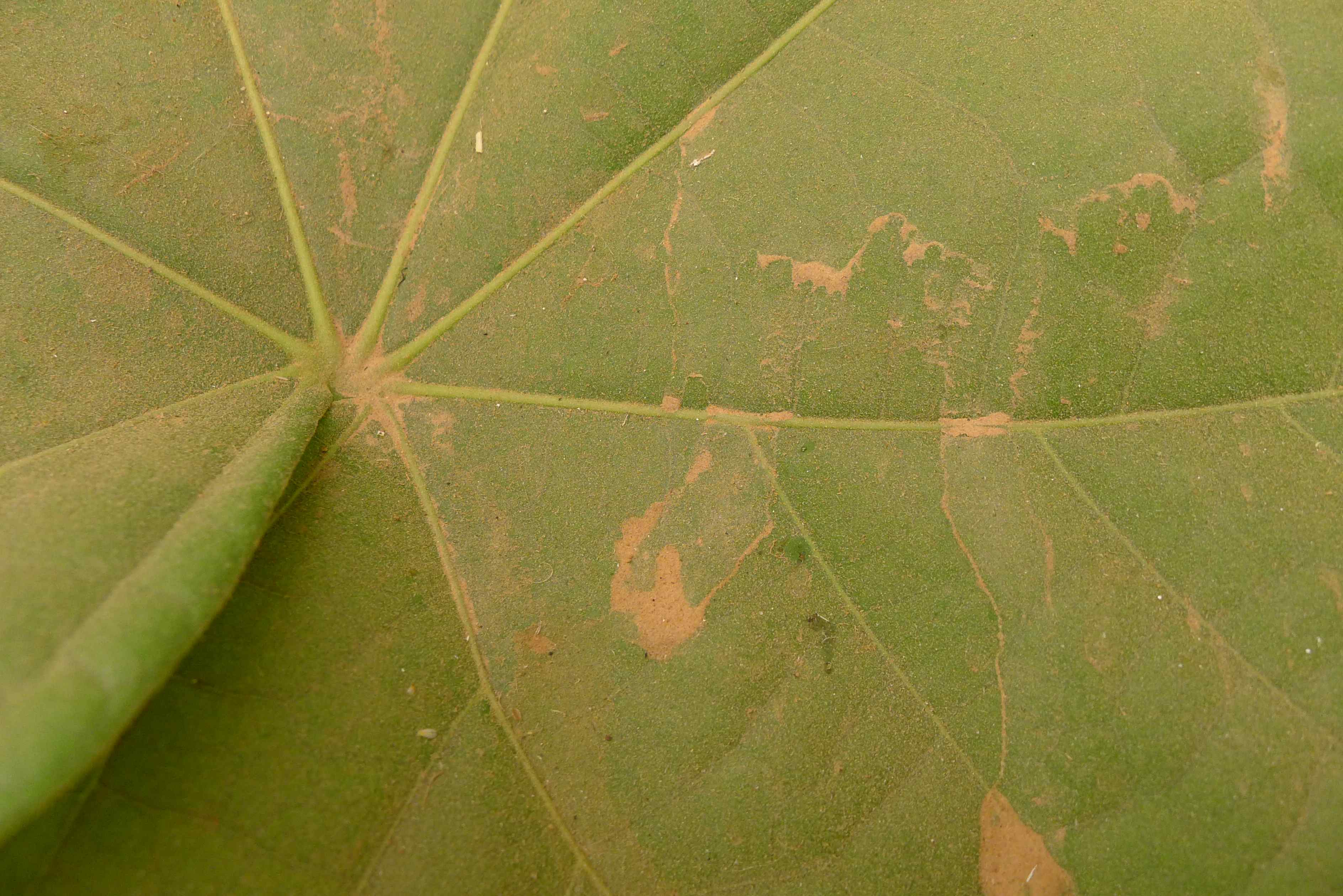 dusty leaf