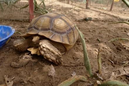 sulcata tortoise helen scales