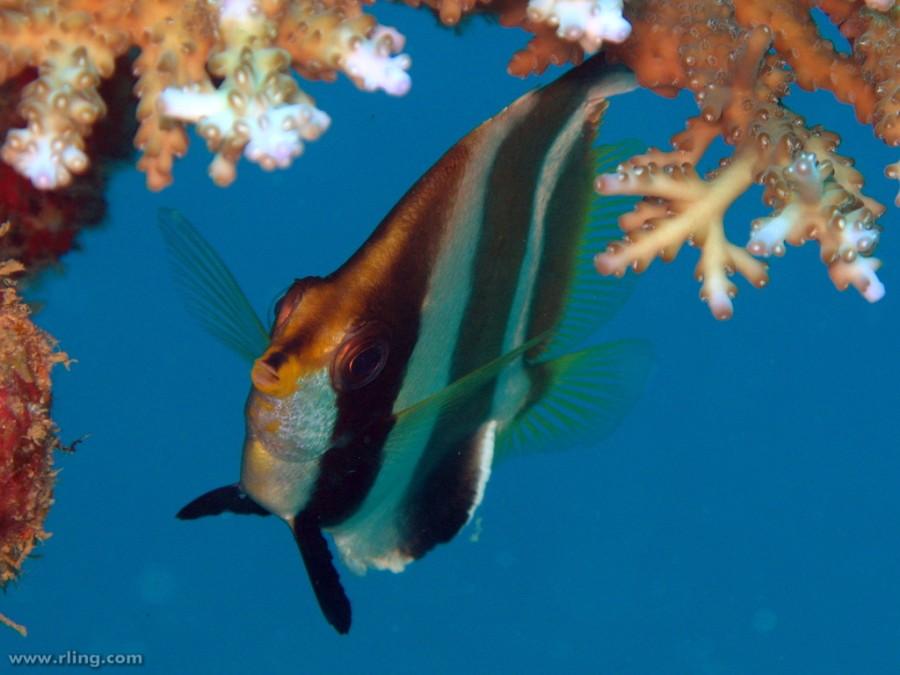 Pennant Bannerfish (Heniochus chrysostomus). The Bistro, Beqa Lagoon, Fiji