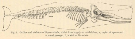 sperm whale skeleton
