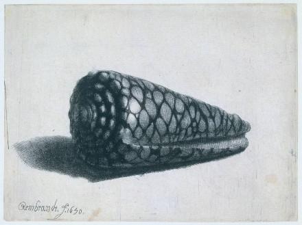 rembrant cone shell