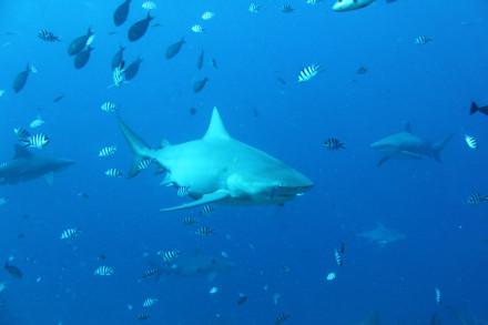 Bull shark Helen Scales