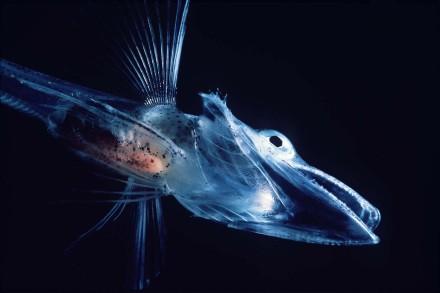 1200px-Icefishuk