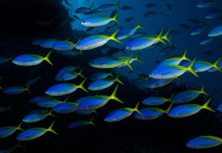 Caesio_teres_in_Fiji_by_Nick_Hobgood