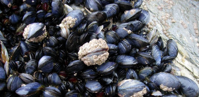 CornishMussels copy