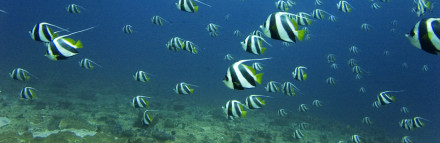 Jon_hanson_-_schooling_bannerfish_school_(by-sa) copy