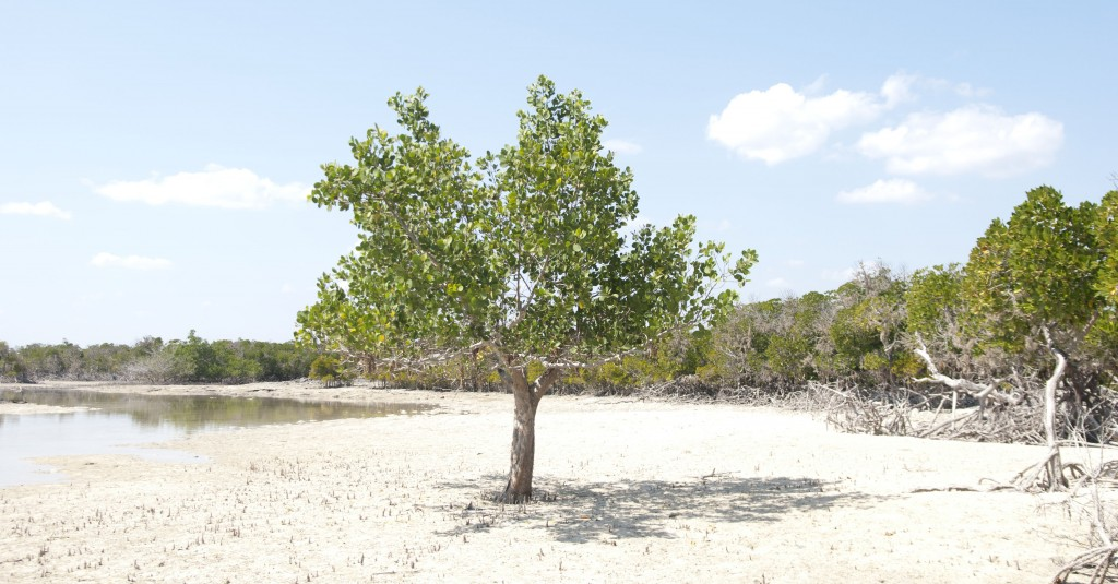 mangrove-tree-bay-of-assassins